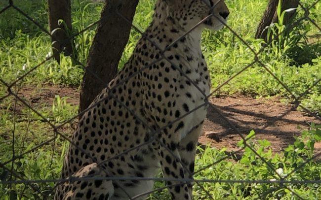 Guépard né à la fondation de conservation. Celui-ci est ses frères ne seront malheureusement jamais relâchés dans la nature car trop imprégnés par l'homme. Il surveille d'ailleurs la voiture qui apporte la nourriture. Chaque félin à un immense terrain pour courir. La fondation entraine les guépards à courir après un leurre pour qu'ils conservent leur instinct de chasseur lorsqu'ils seront de nouveau en liberté.