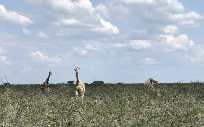 les girafes du parc Etosha lors d'un safari en 4x4 dans un paysage d'arbustes et de terre aride