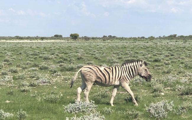un zèbre du parc Etosha en Namibie dans une plaine herbeuse